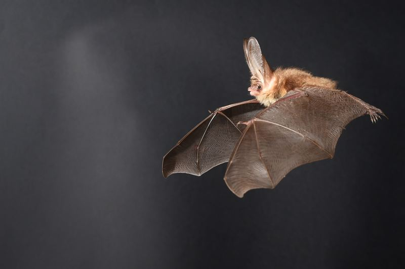 8d0f7ecdae24a52e_800x800ar Researchers Draw Parallel Between Flight of Drones and Long-Eared Bats
