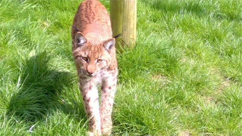 r Lynx Escapes from Zoo; Police Bring in Thermal Imaging Drones