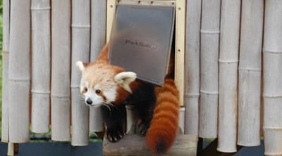 Sunny-Virginia-Zoo-Red-Panda-1200x400 Virginia Zoo Deploys Drone in Search for Missing Red Panda