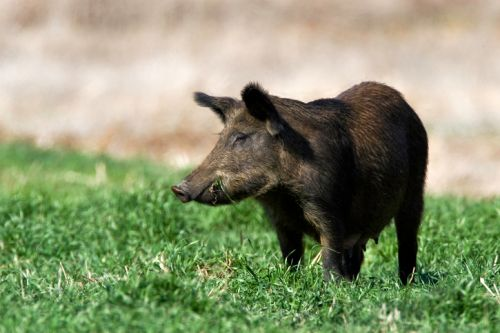 1207_thinkstockphotos-160111366 Drones and Thermal Imaging Mitigate Destruction from Feral Pigs