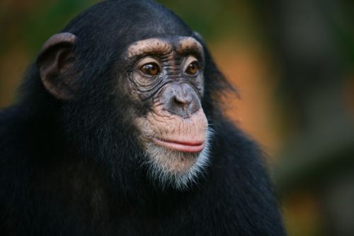 UAVs Prove to be 'Promising Tool' in Chimpanzee Conservation
