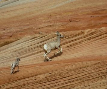 299_drone_harasses_sheep_5.8.2014 Drone Harasses Bighorn Sheep at Zion National Park in Utah