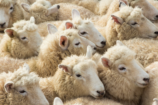 UAS Rounds Up Herd of Sheep at New Zealand Farm