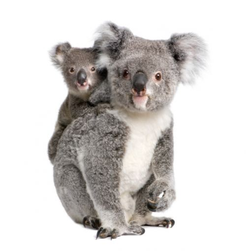 933_92903263 Unmanned Aerial Vehicles Track Endangered Koalas